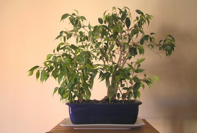 Ficus buxifolia De Willd